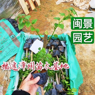 福建省漳州市龙海市紫花三角梅  0.2~0.5米 云南紫福建漳州