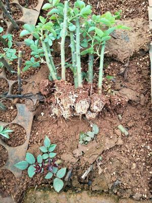 云南省昆明市呈贡区金边玫瑰