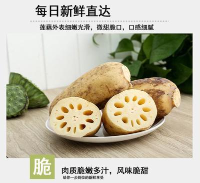 广东省潮州市湘桥区塘藕 15~20cm 9-11cm
