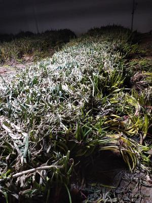 宁夏回族自治区银川市西夏区长白大葱 30~50cm 毛葱