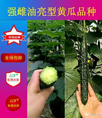 山东省潍坊市寿光市强雌油亮乾德777 杂交种 ≥90%