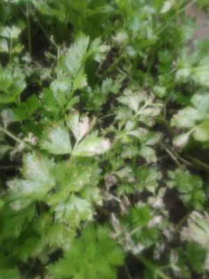 天津武清区津南冬芹 60cm以上 0.5~1.0斤 大棚种植