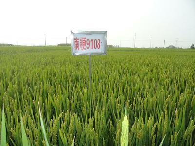 上海崇明县南粳9108大米 一等品 一季稻 粳米