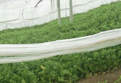 山东省济宁市金乡县山芹 55~60cm 0.5斤以下 大棚种植