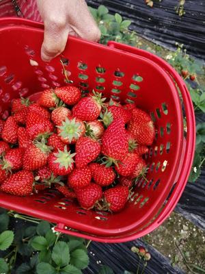 四川省成都市蒲江县巧克力味草莓 20克以上