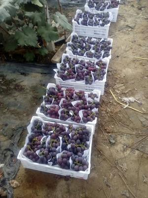 山东省青岛市莱西市巨峰葡萄 0.6-0.8斤 5%以下 1次果