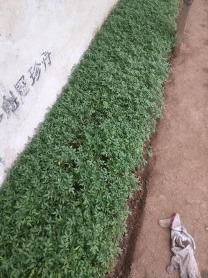 安徽省宿州市埇桥区硬粉番茄苗 四两叶一心