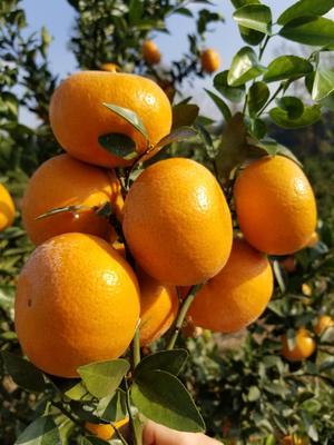 这是一张关于茂谷柑 6 - 6.5cm 4两以上 的产品图片