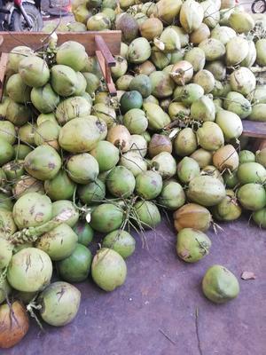 海南省海南省文昌市高种椰子 4 - 5斤