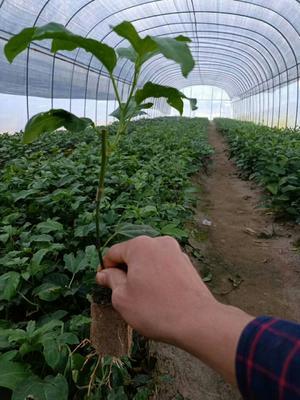 这是一张关于黄金百香果苗 的产品图片