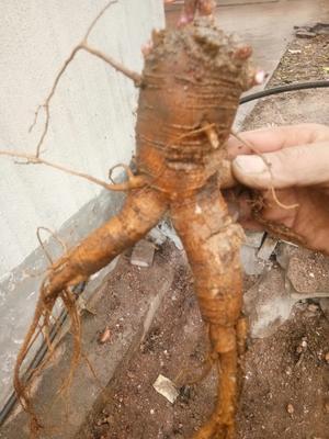 这是一张关于北沙参 的产品图片