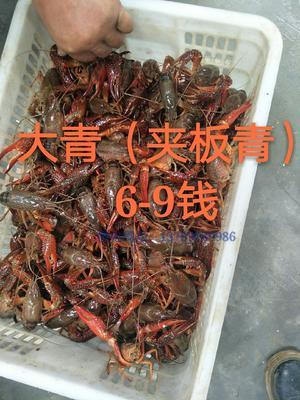 湖北省孝感市安陆市青壳小龙虾 6-8钱 人工殖养