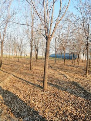 山东省济南市历下区速生白蜡 0.5米以下