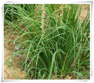 这是一张关于知母种子 的产品图片