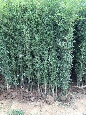这是一张关于早园竹 的产品图片