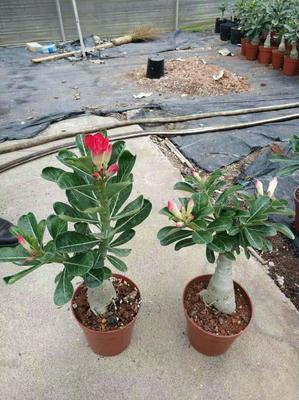 这是一张关于沙漠玫瑰 的产品图片