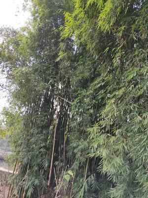重庆九龙坡区竹屑