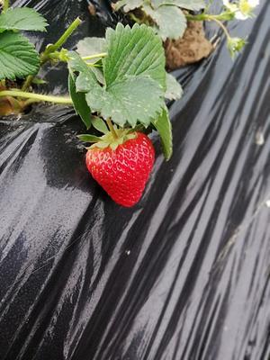 河南省南阳市邓州市红颜草莓 30克以上
