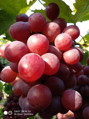 河北省石家庄市晋州市红地球葡萄 2斤以上 5%以下 1次果