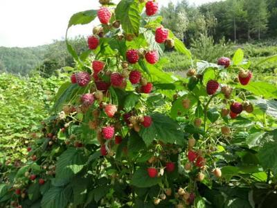 黑龙江省哈尔滨市尚志市树莓苗 30~40公分 地栽苗