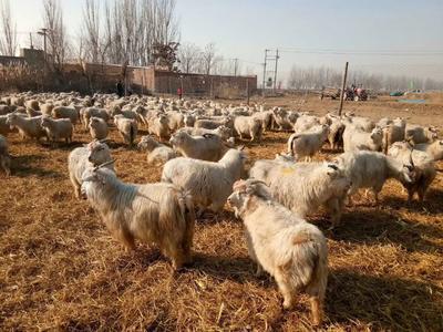 这是一张关于山羊 30-50斤 的产品图片