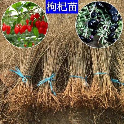 这是一张关于红枸杞苗 的产品图片