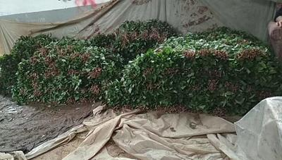 山东省济宁市邹城市烟薯25号红薯苗 15~25cm