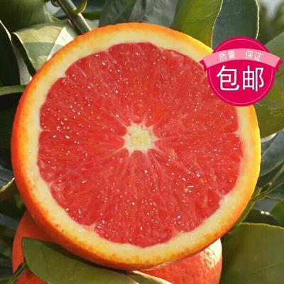 山东省临沂市平邑县冰糖橙树苗 嫁接苗 1~1.5米