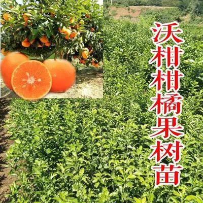 广西壮族自治区钦州市灵山县沃柑 3 - 3.5cm 1 - 1.5两