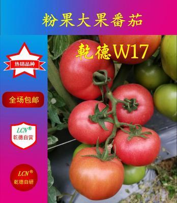 山东省潍坊市寿光市粉大果乾德W17 ≥96% 杂交种 ≥85%