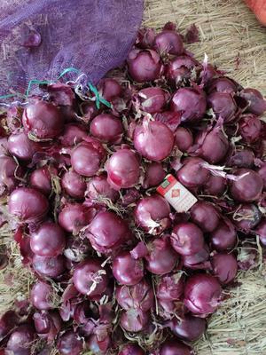 内蒙古自治区赤峰市林西县紫皮洋葱 8~9cm