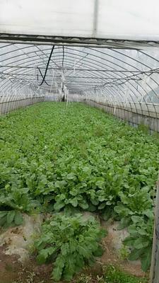 上海浦东新区新白玉白萝卜 1.5~2斤