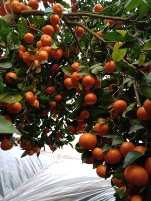 广西壮族自治区桂林市全州县沙糖桔 3 - 3.5cm 1两以下