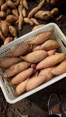 山东省济宁市邹城市济薯26号红薯苗 15~25cm