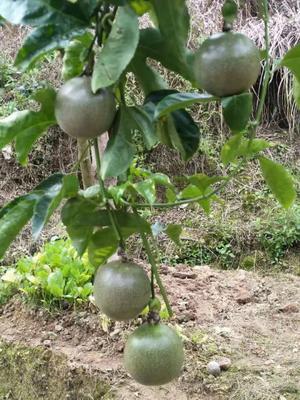 这是一张关于紫香百香果苗 的产品图片