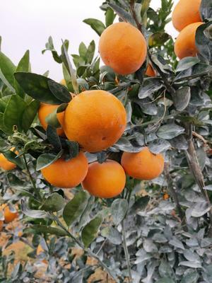 这是一张关于茂谷柑 5.5 - 6cm 2 - 3两 的产品图片