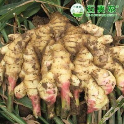 山东省潍坊市青州市黄姜 2~4两 水洗