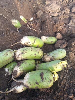 河南省南阳市邓州市青头萝卜  1.5~2斤 窖藏青头白萝卜