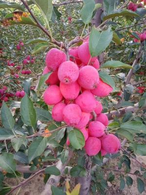 这是一张关于鸡心果树 的产品图片