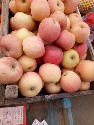 山东省青岛市崂山区红富士苹果 75mm以上 条红 纸袋