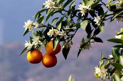 这是一张关于黄果柑 6 - 6.5cm 1 - 1.5两 的产品图片