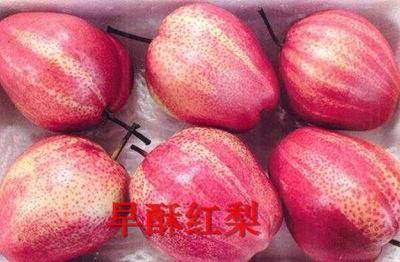 这是一张关于早酥红梨苗  1~1.5米 结果树的产品图片
