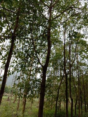广西壮族自治区柳州市柳江县秋枫树