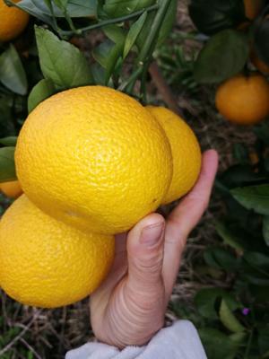 广西壮族自治区来宾市象州县甜桔柚 6.5 - 7cm 4两以上