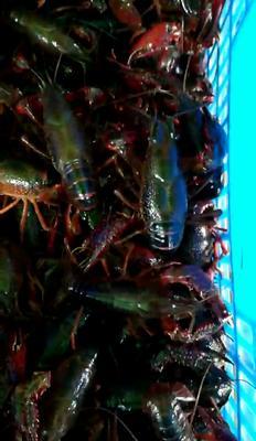 湖北省荆州市松滋市荆州小龙虾 5-7钱 稻田虾