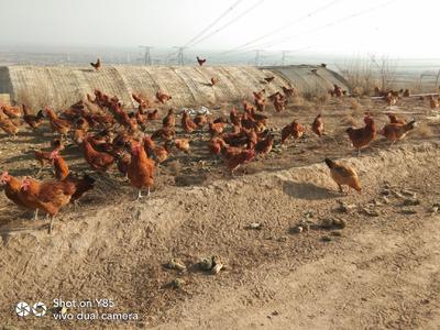 宁夏回族自治区固原市原州区土鸡 4-5斤 公
