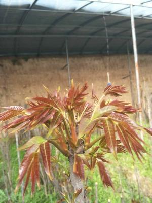 山东省潍坊市青州市红油香椿苗 2公分以下