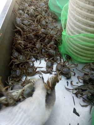 江苏省泰州市兴化市兴化大闸蟹 统货 2.0两以下