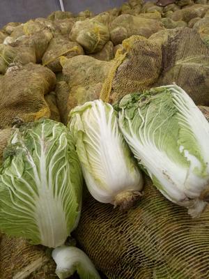 山东省青岛市平度市87-114白菜 3~6斤 毛菜