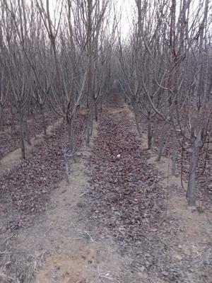 山东省泰安市岱岳区高干樱花 1.5~2米 4~6公分